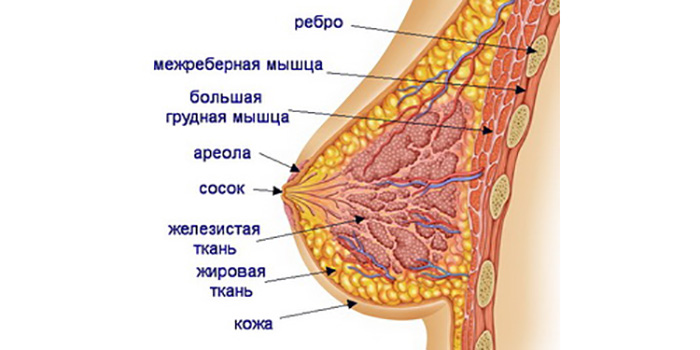 фото анатомия женской груди
